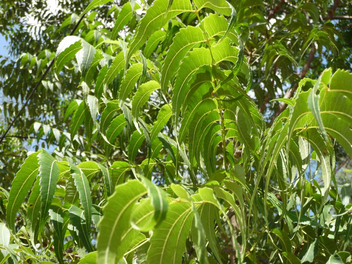 neem tree of related literature Banaphool holds a unique place in bengali literature as a writer of fiction neem tree: a bouquet of short stories banaphula rupa & company, 2004.